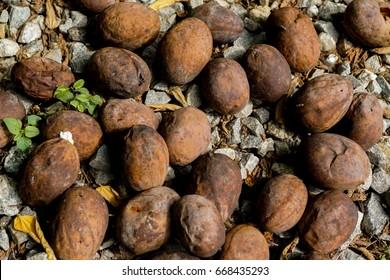 Dead quinine fruit