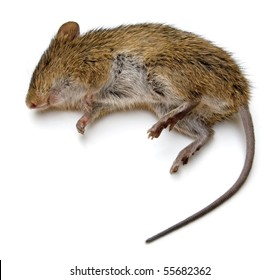 Dead rat isolated.