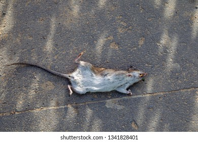 Dead Rat lying on the pavement in Hamburg, Germany.