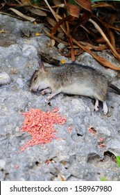 Dead rat lying on a rock by rat poison, Calahonda, Costa del Sol, Malaga Province, Andalucia, Spain, Western Europe.