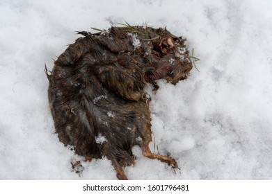 Dead rat lying in the snow decaying with maggot crawling