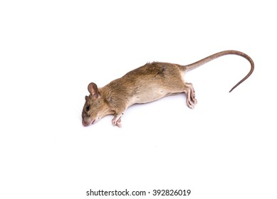 Dead rat (mouse) with feet and long tail isolated on white background. Die animal concept with copyspace.