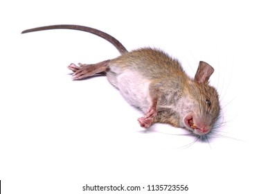 Dead rat (mouse) isolated on white background. Selective focus.