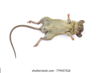 Dead rat (Mouse), Isolated on White Background.Rat are carriers of pathogens, so find a way to eliminate rat.