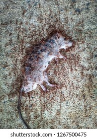 Dead rat (Mouse),Sluggish and dead rats pierced with ants eat on the road (Food chain).