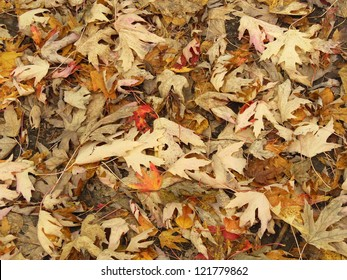 Dead red and yellow maple leaves in autumn