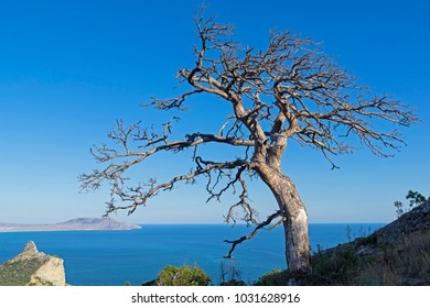 Dead relic pine on a mountain slope against a cloudless sky. Sunny summer day. Novyy Svet, Crimea.