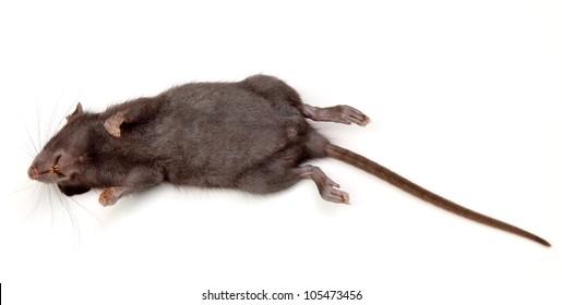 Dead Roof Rat (rattus rattus)