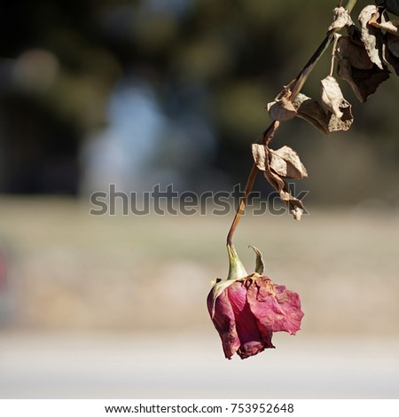 Dead Rose Hanging Upside Down Stock Photo Edit Now 753952648