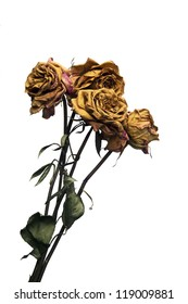 Dead Roses Isolated on White Background
