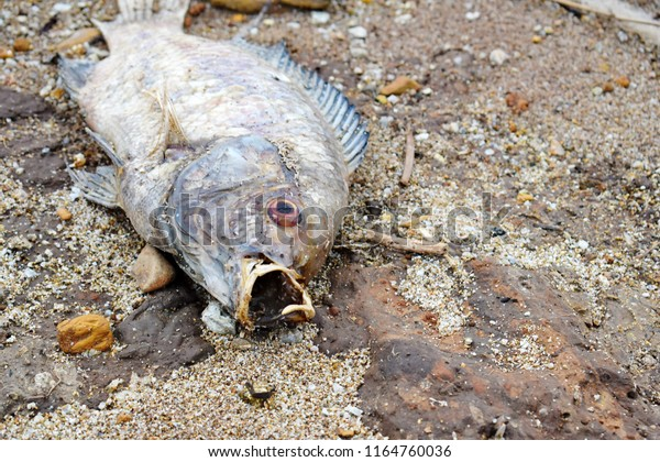 dead-rotting-fish-on-ground-600w-1164760