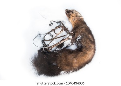 Dead Russian barguzin sable (Martes zibellina), a predator animal native to Siberia valued for its expensive fur, and a conibear humane instant kill trap, laid out in snow