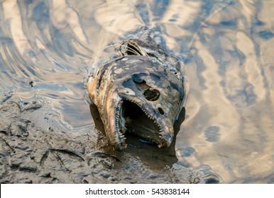 Dead salmon fish in stream