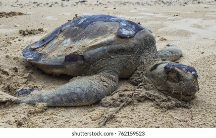 Dead sea turtle at beach