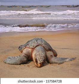 Dead of the sea turtle Olive ridley Lepidochelys olivacea on beach of the town Sompeta, Andhra Pradesh, India. This species is included in the IUCN Red List