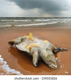 Dead of the sea turtle Olive ridley Lepidochelys olivacea on beach of the village Vadarevu, Chirala, Andhra Pradesh, India. This species is included in the IUCN Red List