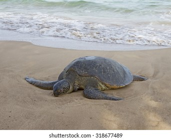 Dead sea turtle on sandy beach. Hawaii, Maui.