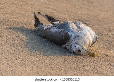 A Dead Seagull Abandoned Resting on the Lake Coast on a Sunny Winter Day