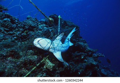 Dead Shark entangled in a fishing net and strangled to death / Marine Environmental Destruction / Ocean Protection