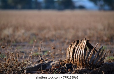 Dead sheep with rib cage exposed in dry field at sunset in summer in farmland, central west region, NSW, Australia. Drought, climate change and global warming concepts.