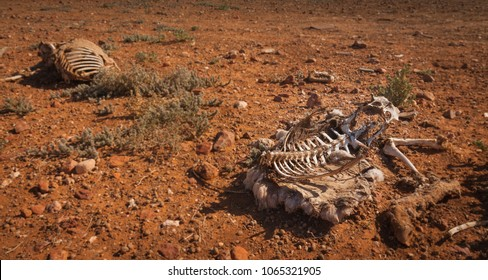 dead sheep skeleton