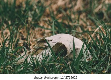 Dead sheep's skull in the grass