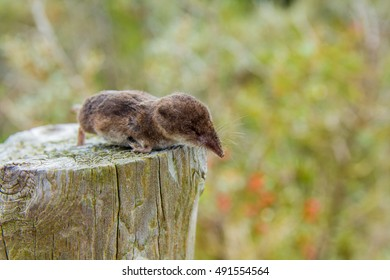 a dead shrew on a post in the dune region near The Hague, the Netherlands
