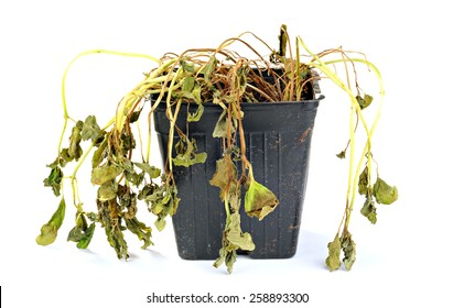 Dead and shriveled plant, in a plastic pot, white background