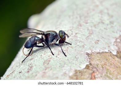 dead signal fly infected by parasite worm