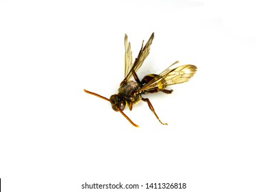 Dead Small Baby Bee Wasp On White Background