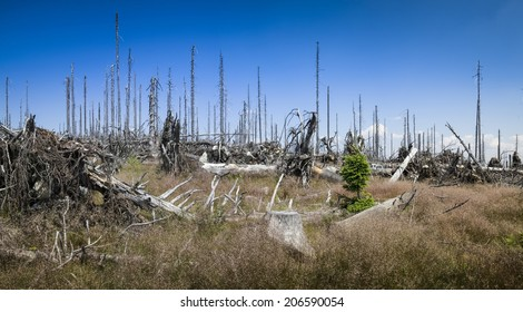 Dead spruce forest
