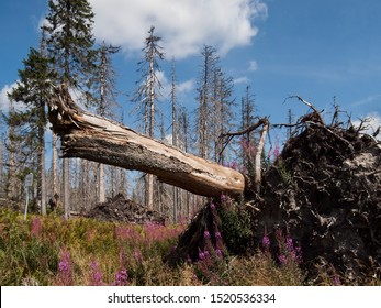 Dead spruce forest in the Sumava National Park (Bohemian Forest, Bömerwald) on the border between Czechia, Bavaria and Austria.  Ecological disaster due to the drought and invasion of the bark beetle.