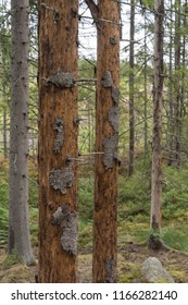 Dead spruce trees damages by Spruce Bark Beetles
