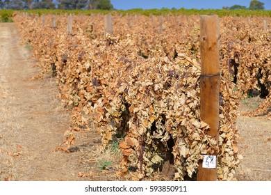 Dead sultana and grape vines in vineyard. Filmed Mildura, Victoria.