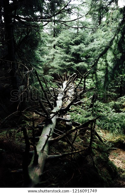 Dead tree between the green spruce