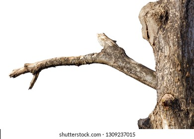 dead tree branch isolated on white background.