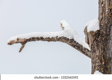 dead tree branch with snow isolated on white background.
