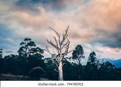 Dead tree in forest at sunset