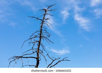 Dead tree isolated on blue background. Single old tree trunk. Preparation for writing text. Copy space.