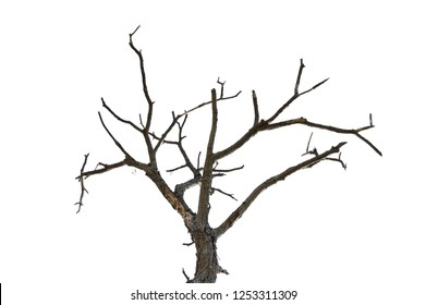 Dead tree isolated on white background, Dead branches of a tree.Dry tree branch.Part of single old and dead tree on white background.Dry branches with cracked dark bark.
