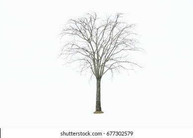 Dead tree isolated on a white background