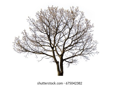 Dead tree isolated with white background.