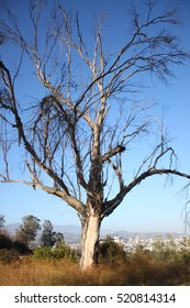 Dead Tree in Los Angeles