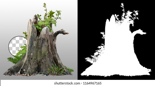 Dead tree. Old stump tree surrounded by green foliage isolated on transparent background via an alpha channel of great precision. High quality mask without unwanted edge. For professional composition