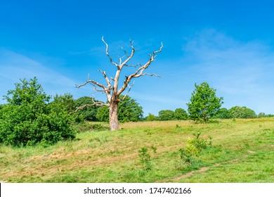 A dead tree on Parliament Hill in Hampstead Heath park, London UK