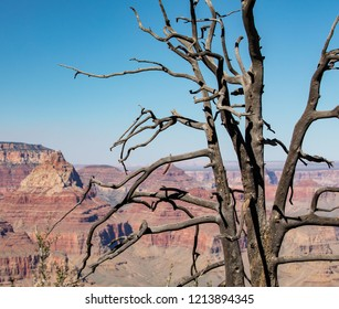 A dead tree on the side of Grand Canyon