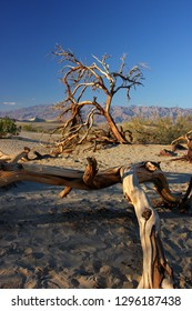Dead tree trunks and desert bushes growing in the arid sandy dune landscape of Mesquite Flat Dunes, Death Valley, USA