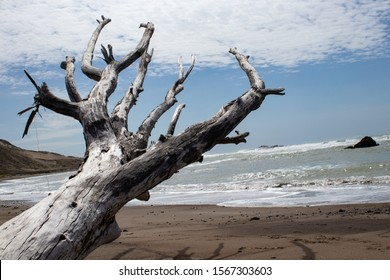 Dead tree washed up the beach reaching towards the sky