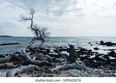Dead tree at the water edge at the Kohala Coast on the Big Island of Hawaii