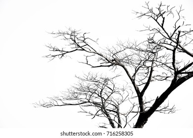 Dead tree, white background